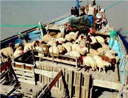 ادامه توقف صادرات دام زنده از بنادر خوزستان