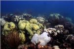 سفیدشدگی مرجان ها