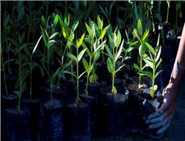 جنگل حرا در جزیره قشم توسعه می یابد